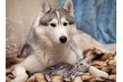Хаски и кот (Горизонтальная)